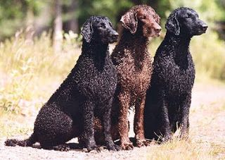 Flat Coated And Curly Coated Retrievers Curly Coated Retriever