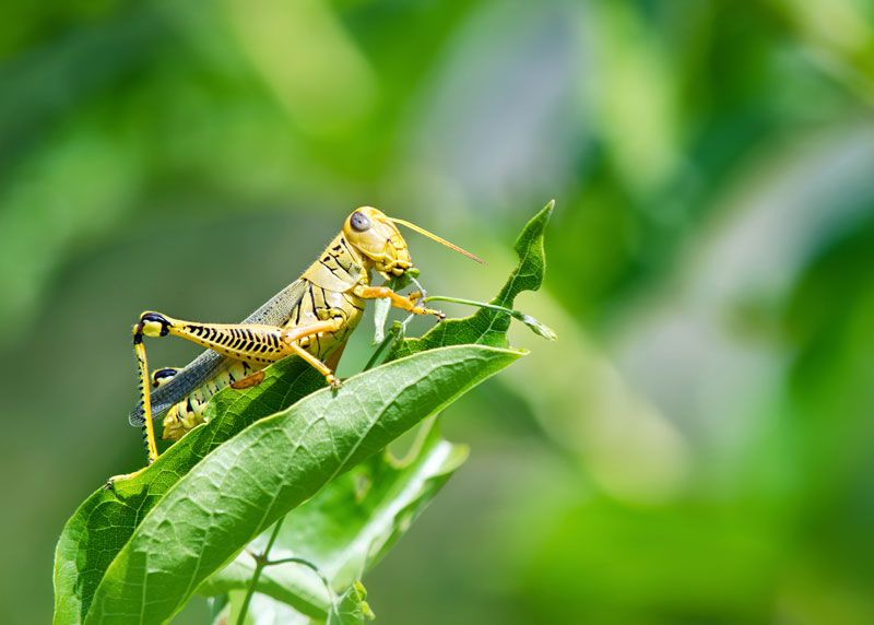 how to get rid of grasshoppers in vegetable garden