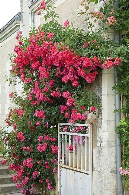 Juin le mois des roses et des amateurs de roses