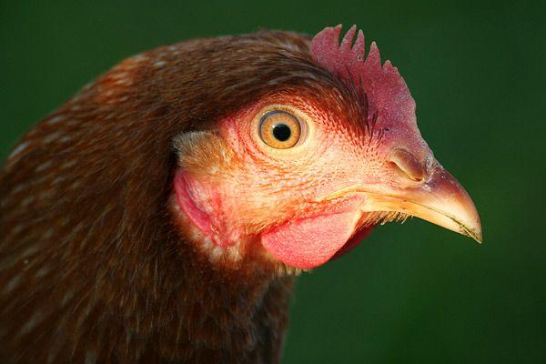 Chicken farm in Redland countryside