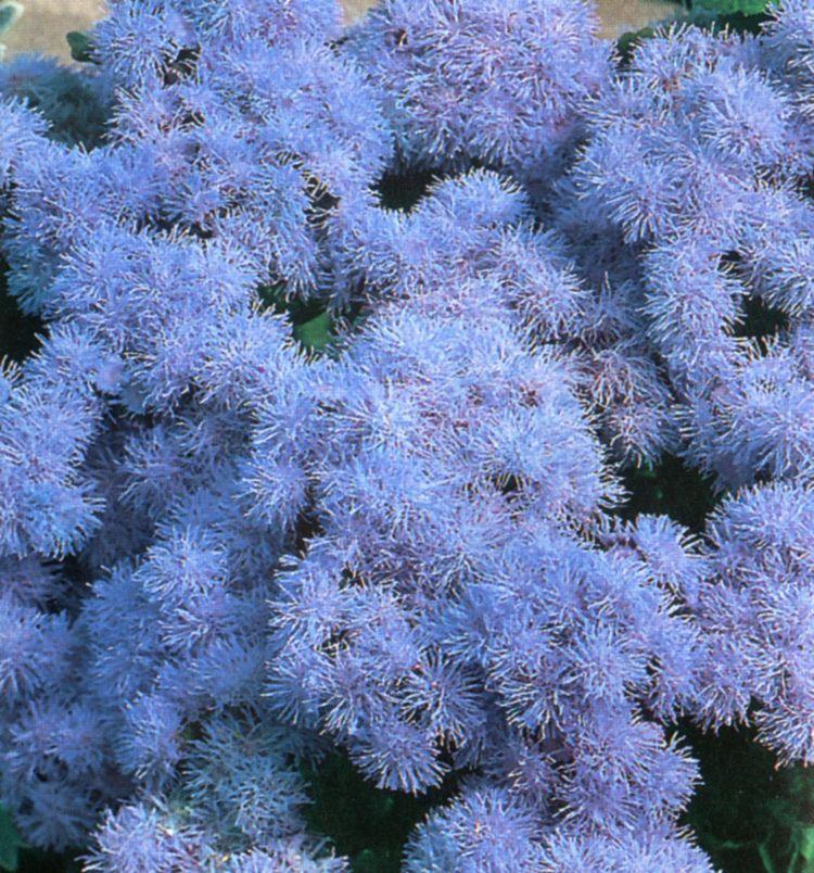 Ageratum Blue Mink Flower Flowers Pinterest Flowers Flower Seeds And Hanging Baskets