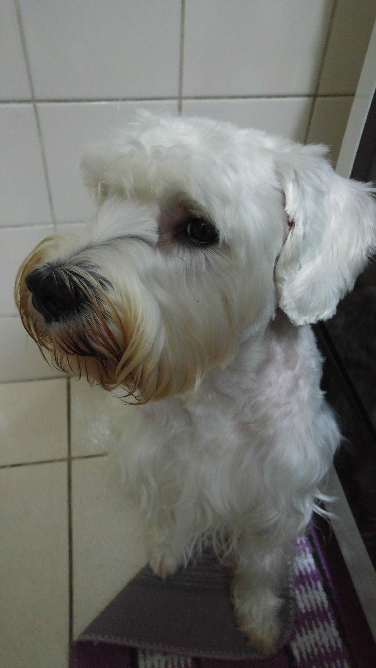 Pin By Mary Jimenez On My Puppy The Schnauzer Pierre Minature