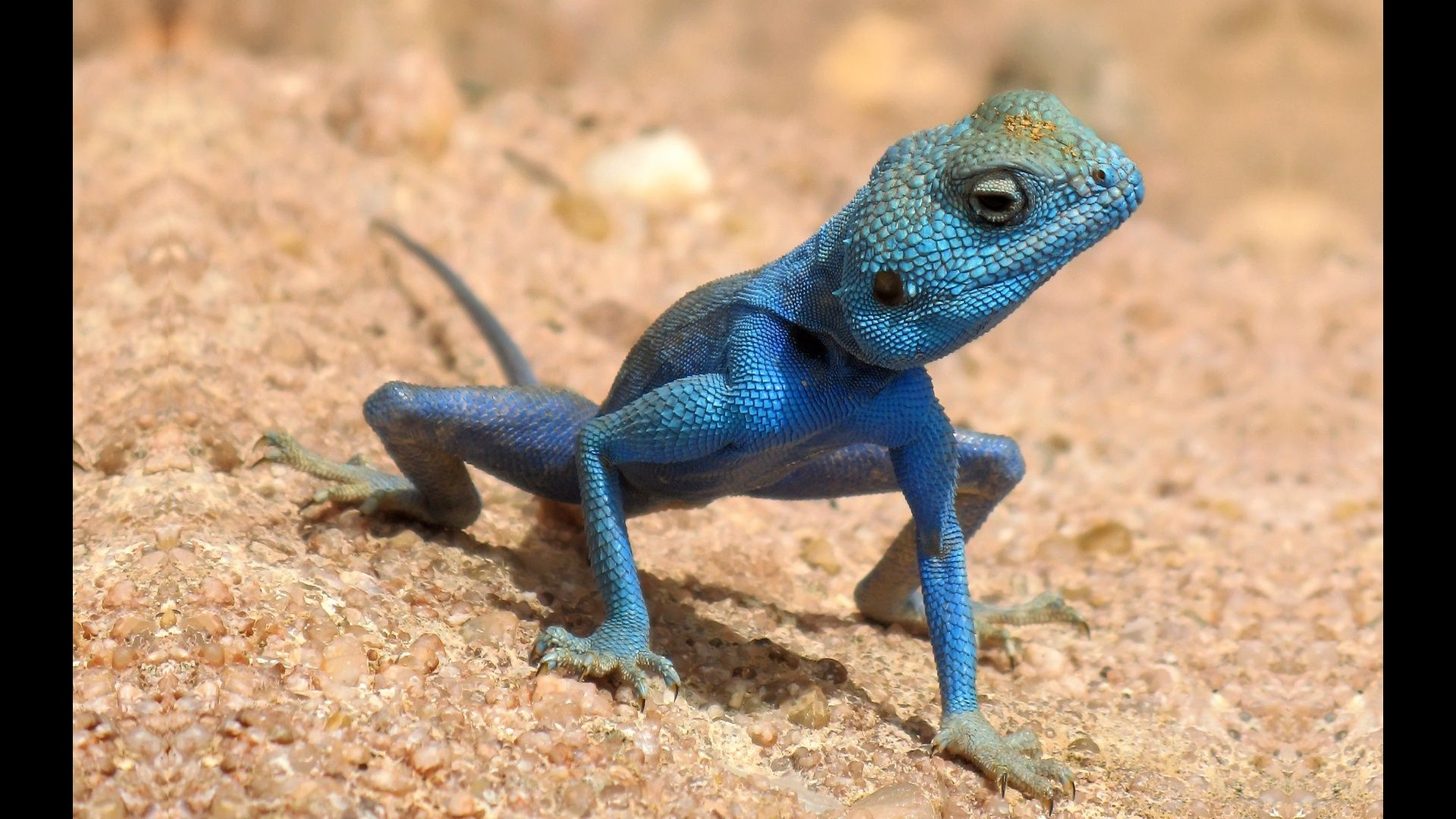 A Blue Lizard Sinai Agama Looking Around On The Ground