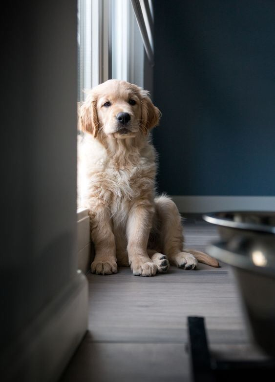 Everything You Ever Wanted To Know About Golden Retrievers Woof