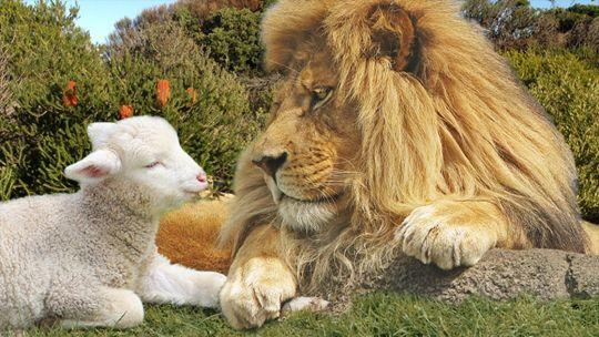 Löwe Und Lamm Bibel