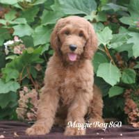 Sunshine Acres Goldendoodle Puppies For Sale Colorado Springs