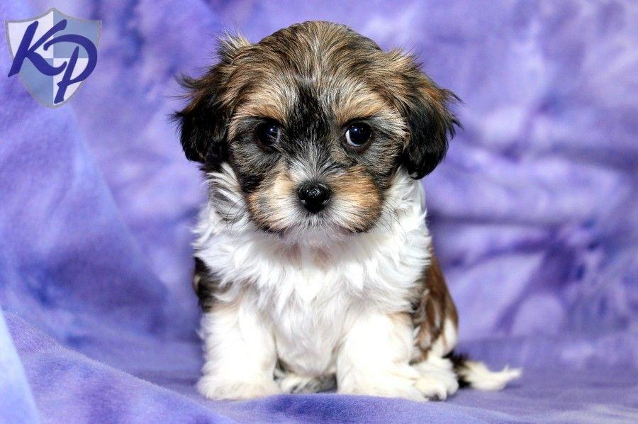 Fancy U2013 Havanese Puppies For Sale In PA | Keystone Puppies