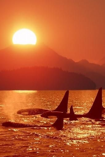 Orcas in the setting sun