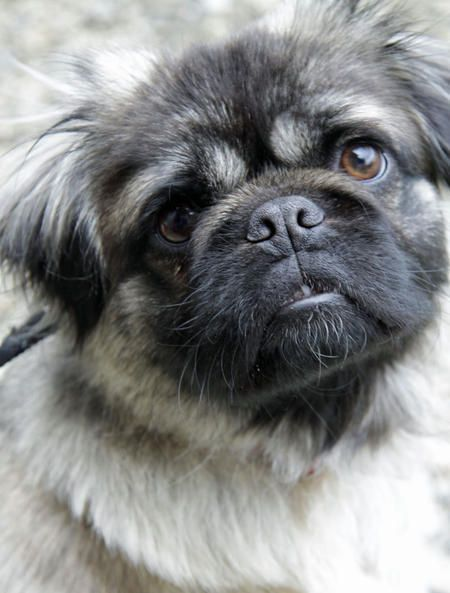 Bruno The Pug Mix Dog Breed Lhasa Apso Pug Pug Mix Pugs