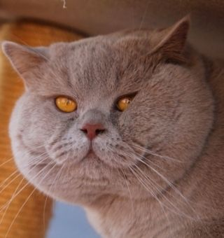 British Shorthair Cinnamon Chartreux Cat British Shorthair