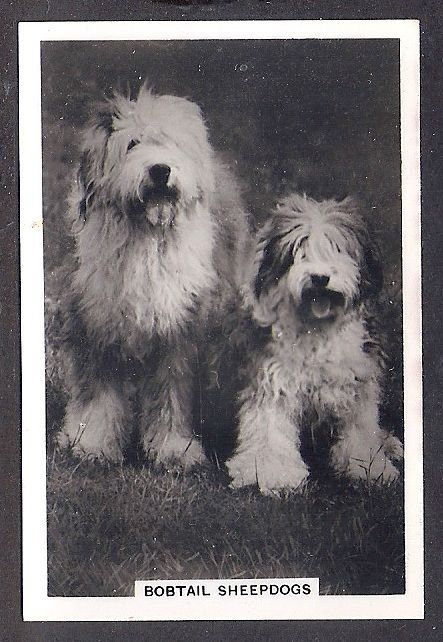 1939 UK Dog Photograph Senior Service Cigarette Card OLD ENGLISH SHEEPDOG Adult