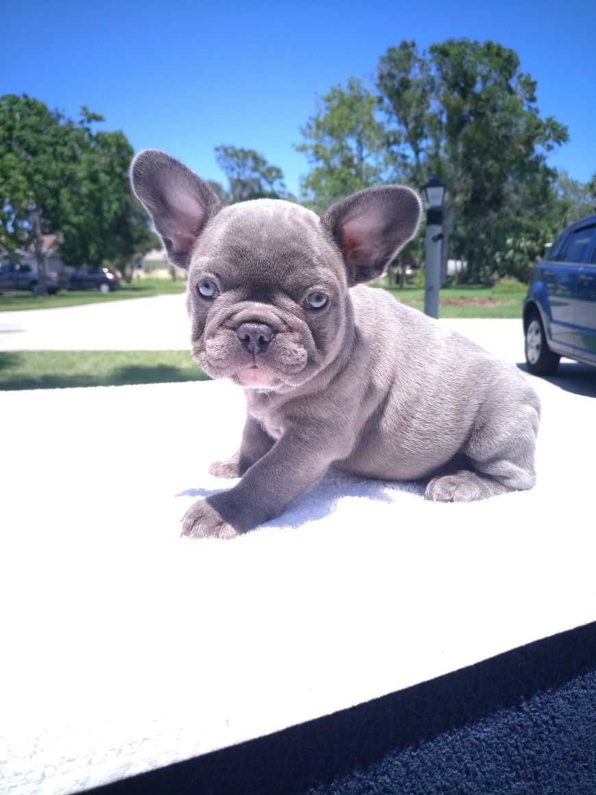 Lilac Female French Bulldog Cute French Bulldog French Bulldog