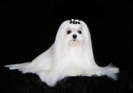 Maltese Dog Grooming Logos Google Search Maltese Dogs Dog Grooming Maltese