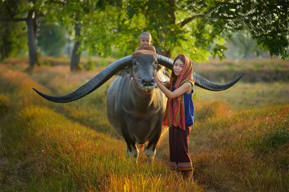 Farmer Family With Buffalo Thailand