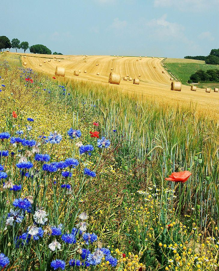 Summer field in Hamois, Belgium, with cornflowers and corn poppies in the foreground.