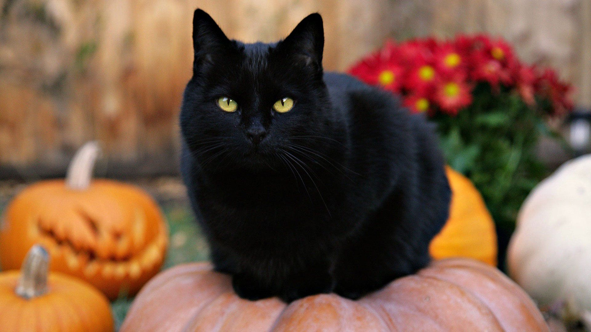 Most Black Cats Also Come With Golden Yellow Eyes Thanks To The High Melanin Pigment Content In Their Bodies Description Fro With Images Cat Wallpaper Black Cat Halloween