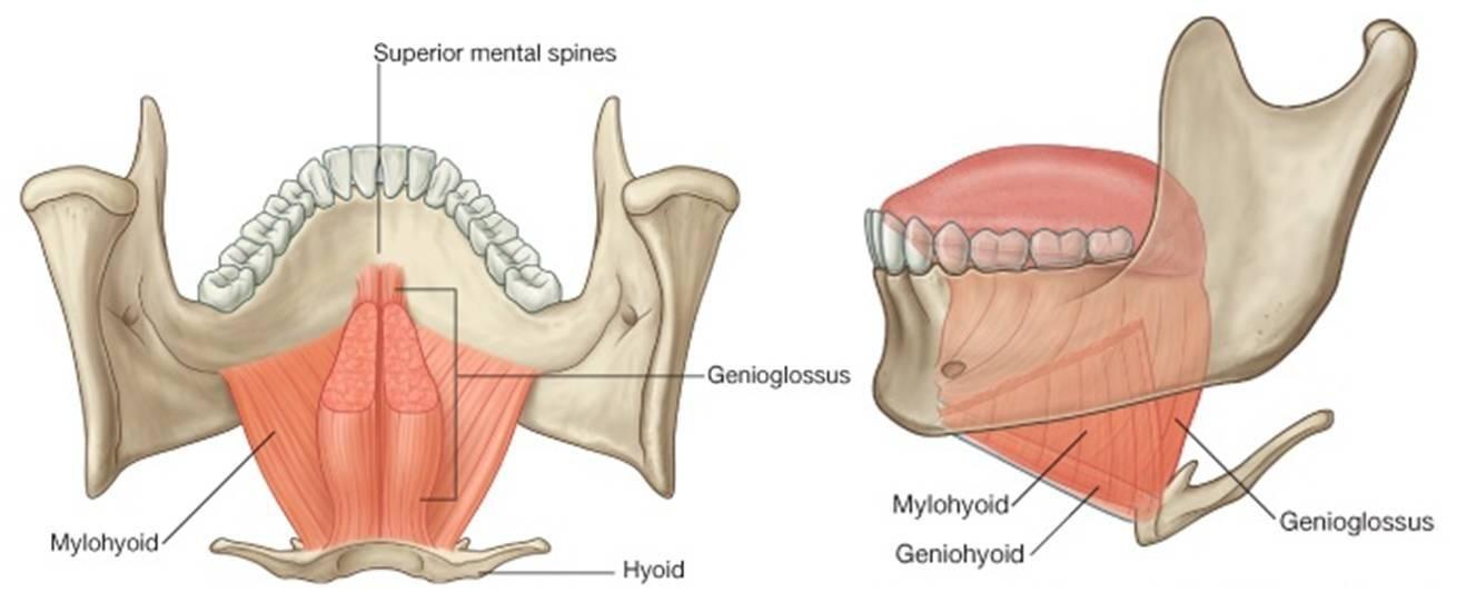 Pin von SJC auf slp anatomy | Pinterest