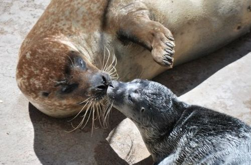 Partially Blind Harbor Seal Proves a Perfect Mother