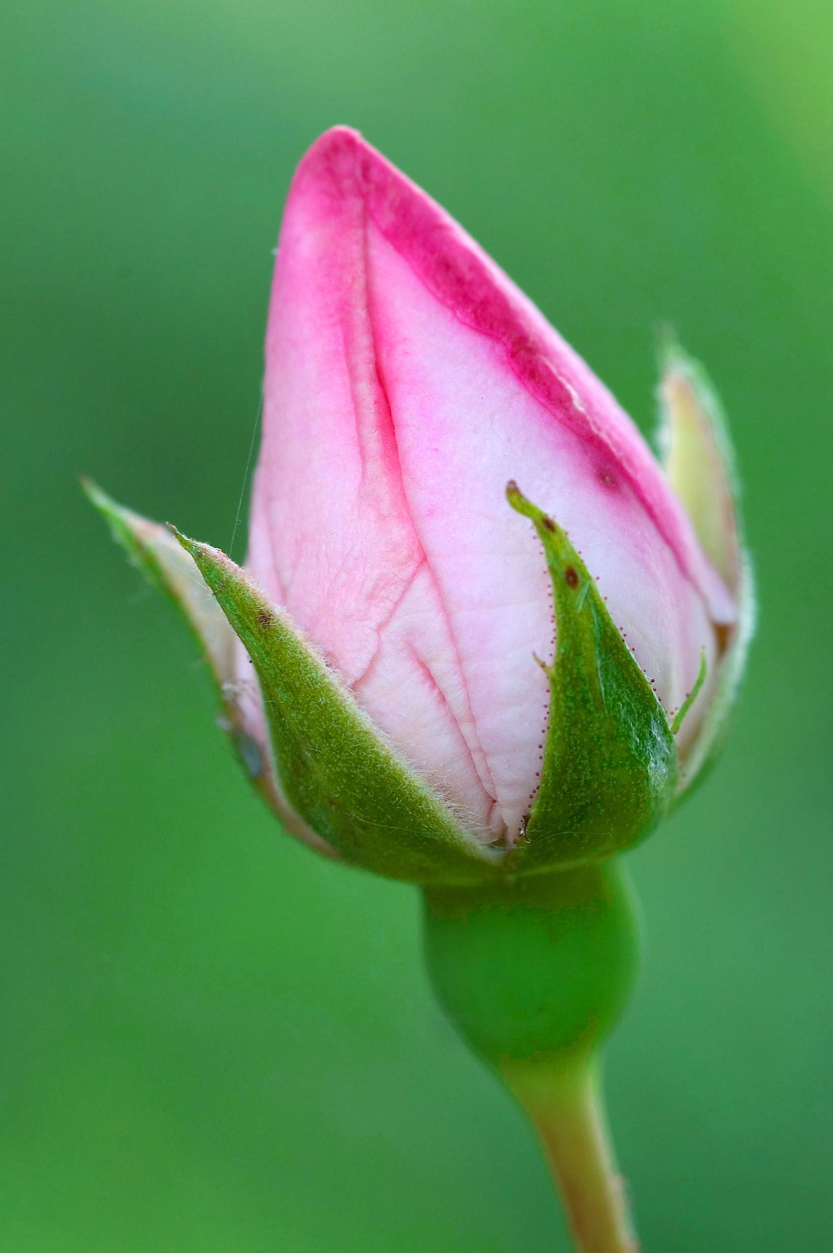 The most beautiful pink rose buds description rose budg the most beautiful pink rose buds description rose budg dhlflorist Choice Image