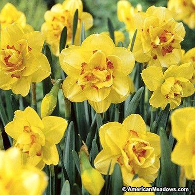 Tahiti Double Daffodil Bulb Flowers Daffodil Flower Daffodil Bulbs