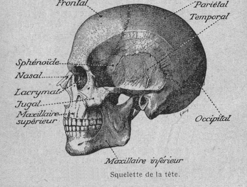 Dessins anatomie-physiologie Image (96) - Squelette de la tete de l ...
