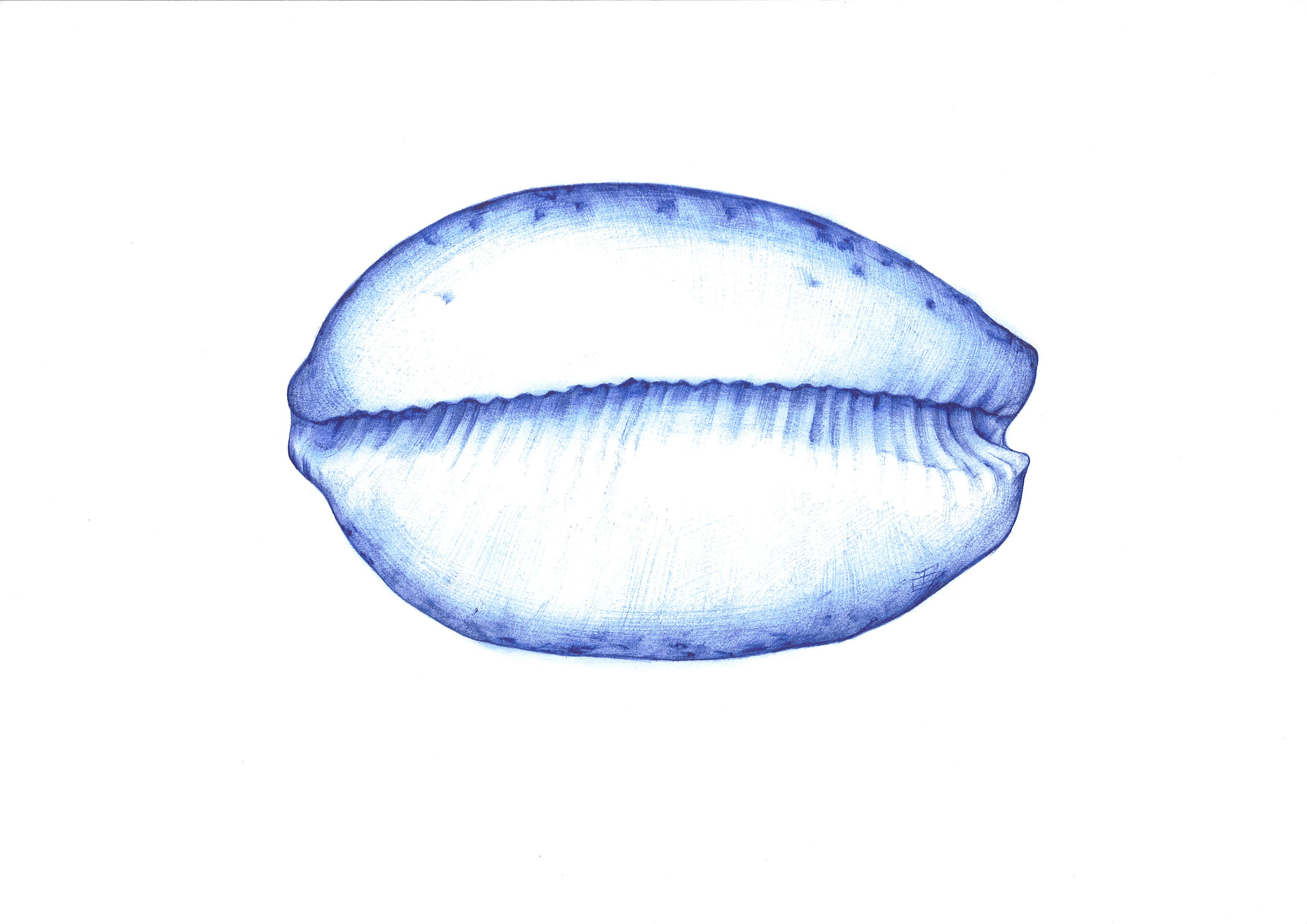 Shell. Ballpoint pen drawing, Elena Timtschenko