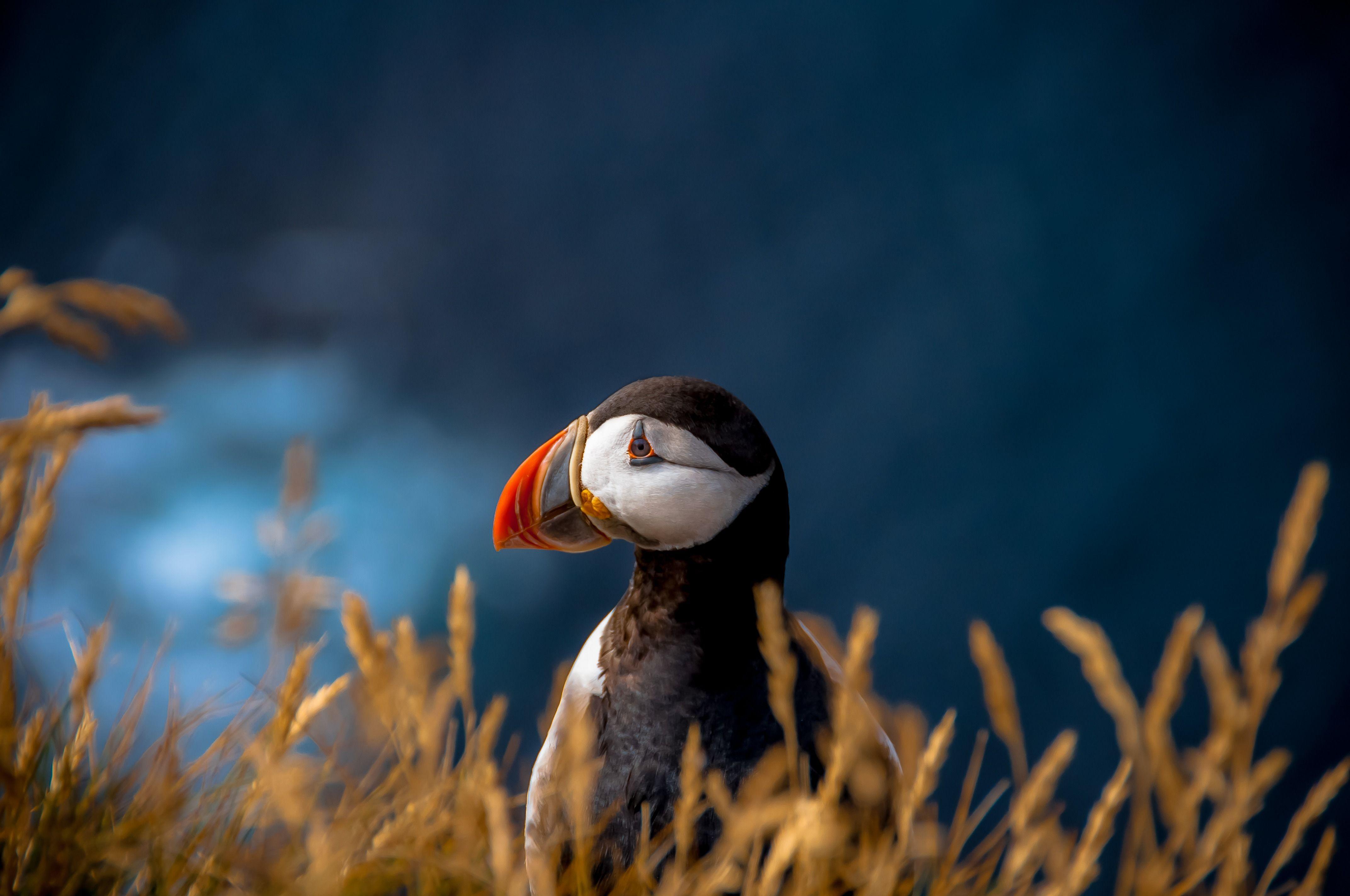 Puffin Photograph By Chris Zielecki National Geographic Your Shot Puffins Bird Animals Birds