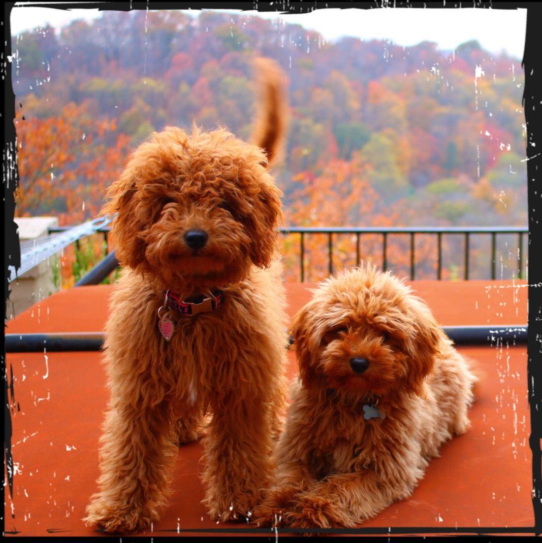 Petite Goldendoodle Puppies Vito And Sadie 2 Goldendoodle