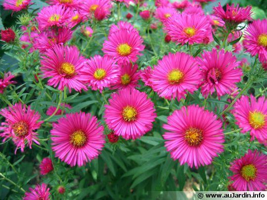 Aster bordure massif type de sol et feuillage caduc - Fleurs vivaces d automne ...