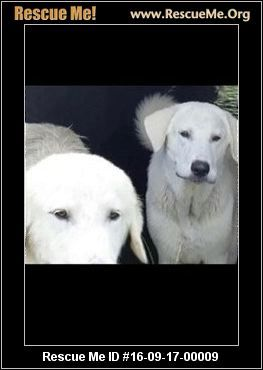 Texas Great Pyrenees Rescue Adoptions Rescueme Org Puppy
