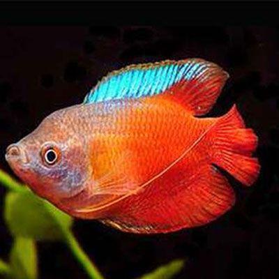 Red Dwarf Gourami Male Aquarium Fish Betta Fish Types Aquarium Fish For Sale