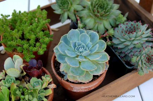 Succulents in a tray