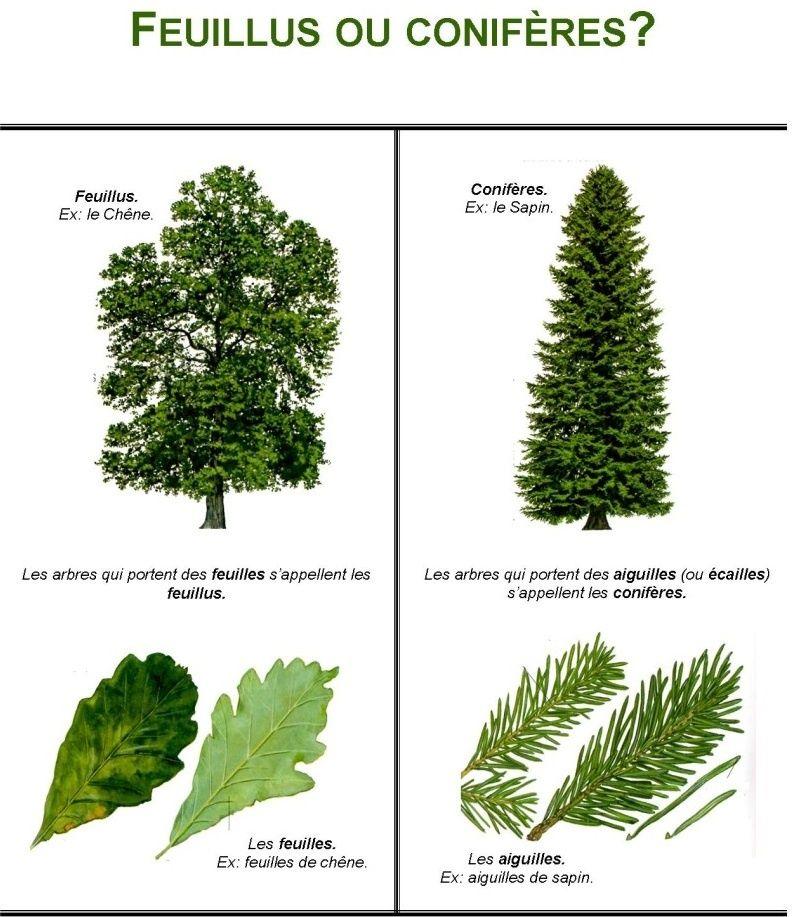 Les arbres de France et leurs utilisations   Reconnaitre ...