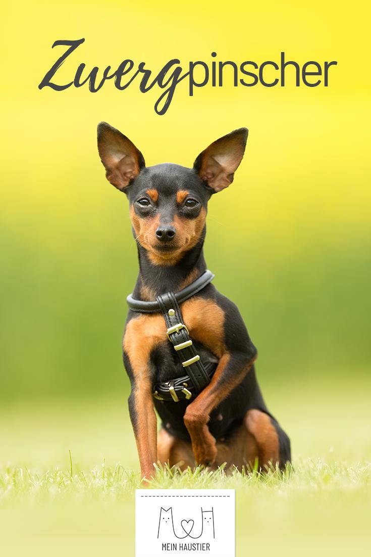 Der Zarte Und Elegante Zwergpinscher Auch Liebevoll Minpin Genannt Erfreut Sich Aufgrund Seiner Geringen Hunderassen Kleine Hunde Zwergpinscher Hunderassen