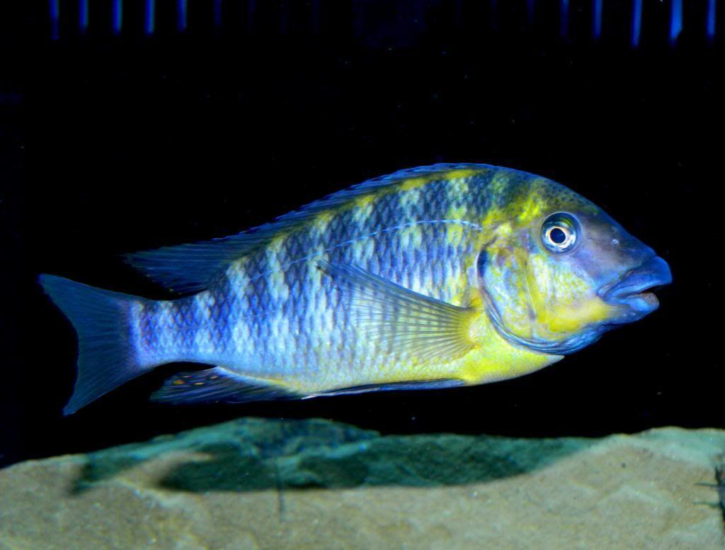 Картинки по запросу Petrochromis polyodon