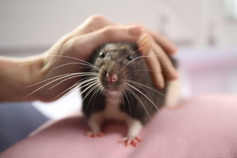 Grooming Pet Rats Bathing Nail Teeth Ear Care Pet Rats