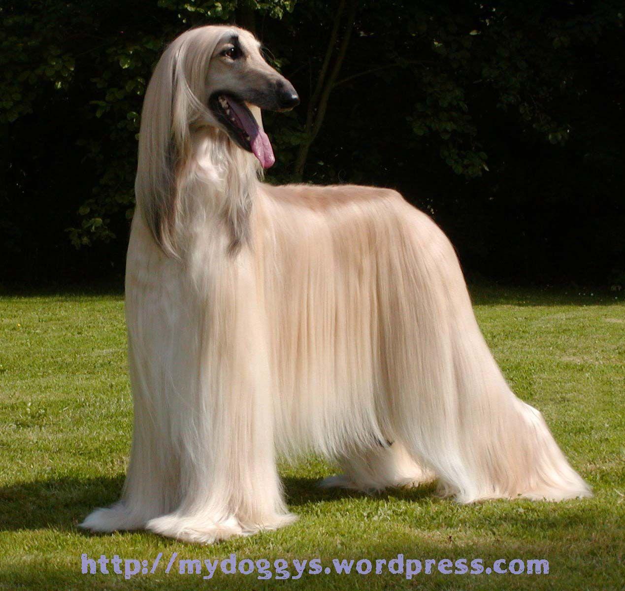 Pet Dog Beauty Afghan Hound Hound Dog Breeds Afghan Hound
