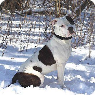 South Haven Mi Boxer American Bulldog Mix Meet Duke A Puppy For Adoption American Bulldog Mix Puppy Adoption American Bulldog