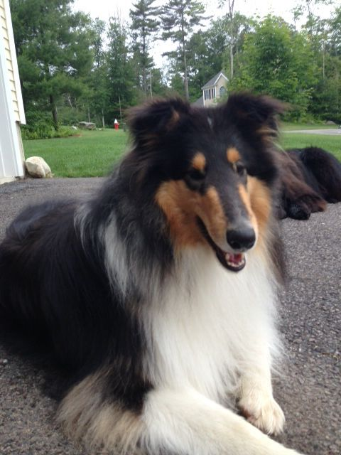 Bishop 1year Rough Collie Breeder Quincy Collies New
