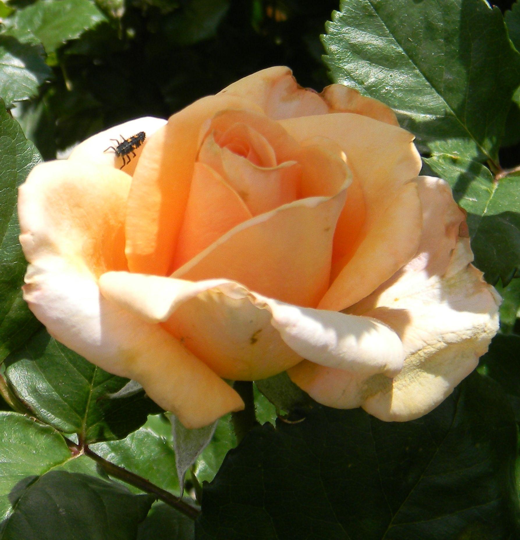 Medium Of Rose Pest Control