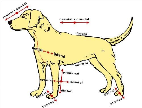 The Anatomy and Physiology of Animals/Directional Terms ...