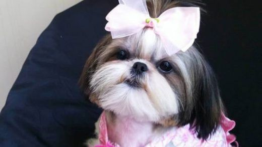 Pin By Cell On Dogs Pinterest Shih Tzus Dog And Pup