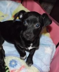 Black Chiweenie Puppies Google Search Chiweenie Dogs