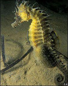 The spiny seahorse. | Greenpeace International