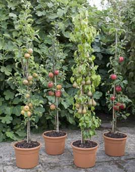 Cordon Fruit Trees How To Get The Best Harvest From A Small Garden Fruit Tree Garden Potted Fruit Trees Fruit Trees Uk