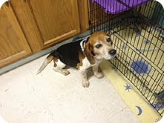 Senior Special Needs Beagle Dog For Adoption In Maryville