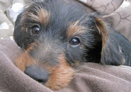 The Very Cute And Sweet Griffon The Dachshund Yorkshire Terrier