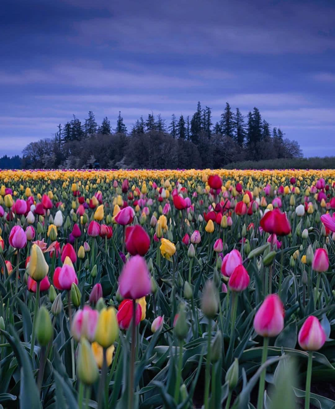 Wooden Shoe Tulip Festival 2020.Wooden Shoe Tulip Farm Oregon Usa America Tulip Flower