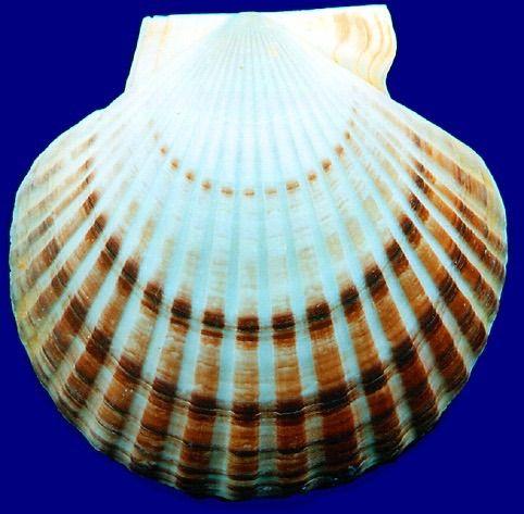"Patinopecten Yessoensis 7"" (22cm)"