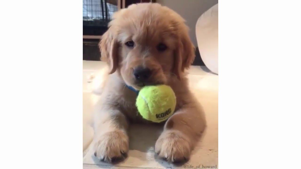 Funny And Cute Golden Retriever Puppies Compilation 1 Cute Dog
